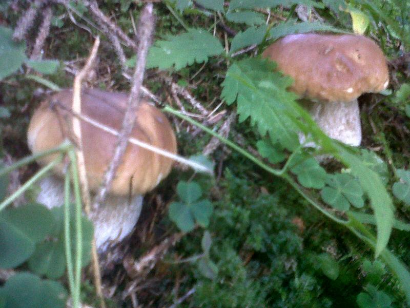 Funghi porcini della Valle dei Mocheni