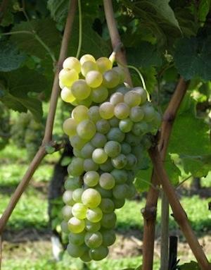 Antico vitigno recuperato dall\'Istituto agrario di S.Michele
