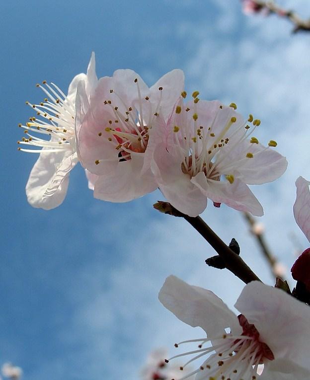 fiore di albicocco, pianta tradizionale dell\'Afghanistan