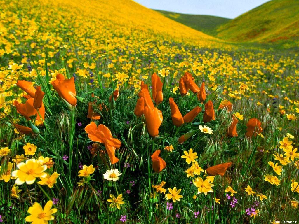 Campo in fiore
