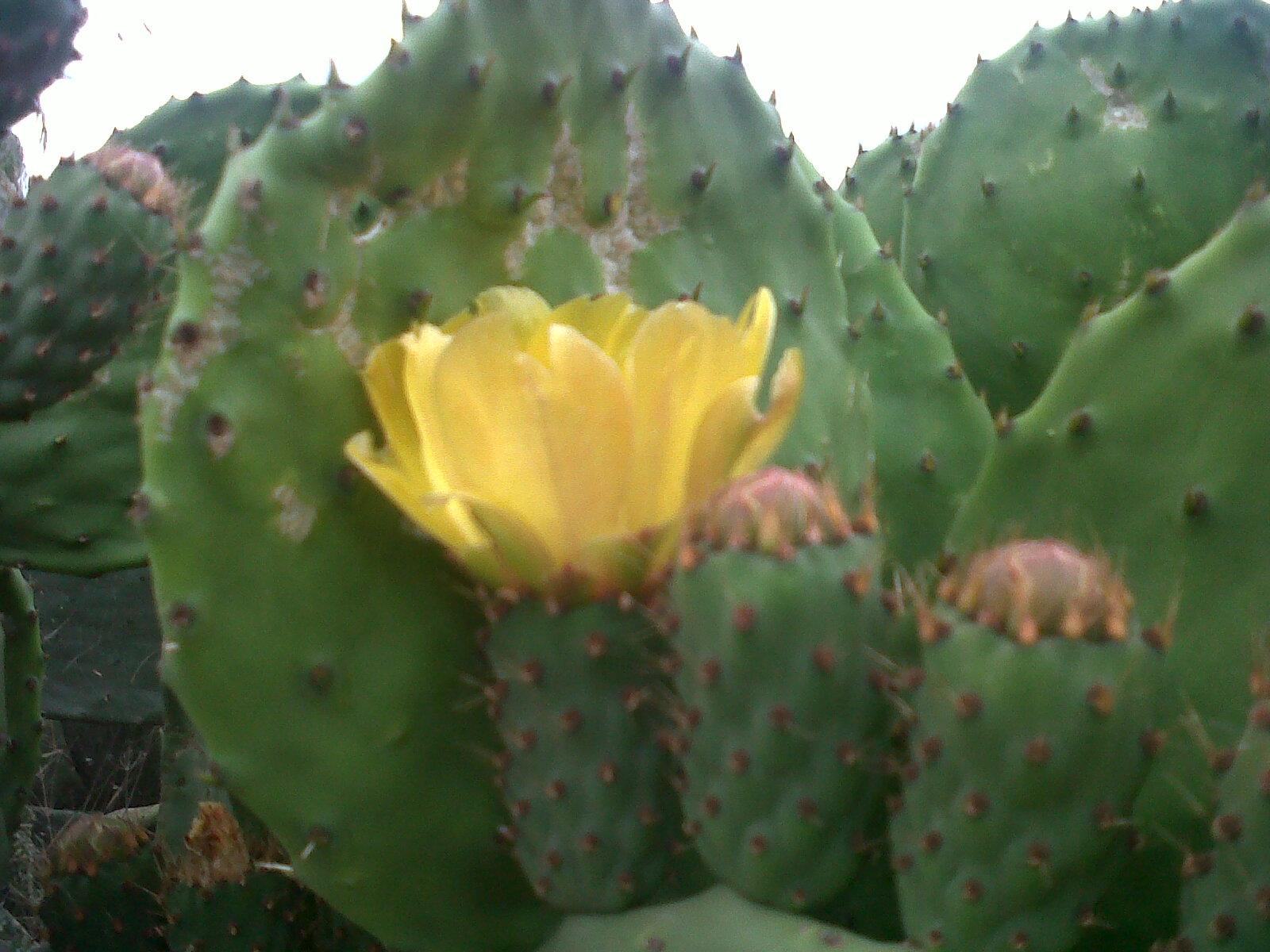 Fiore di Nopal