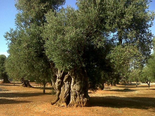 Puglia, Ulivi